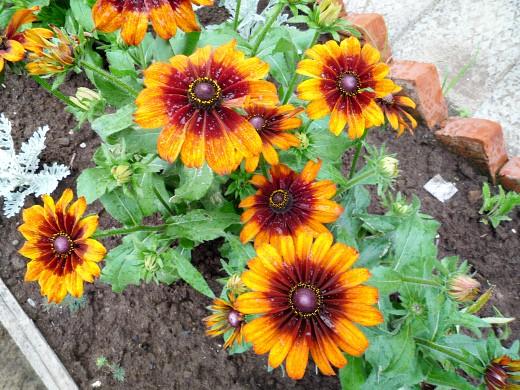 цветы для клумбы, цветущие всё лето - рудбекия многолетняя