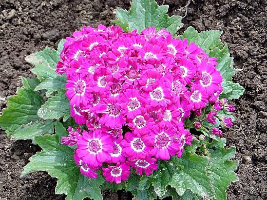 цветы для клумбы, цветущие всё лето - цинерария цветочная