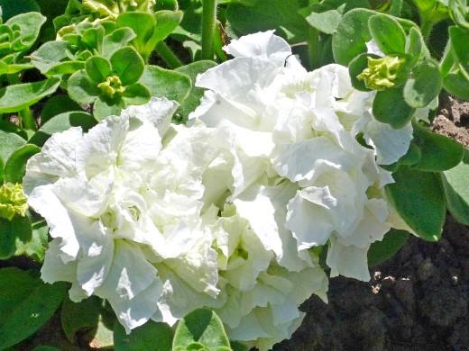 цветы для клумбы, цветущие всё лето - петунии