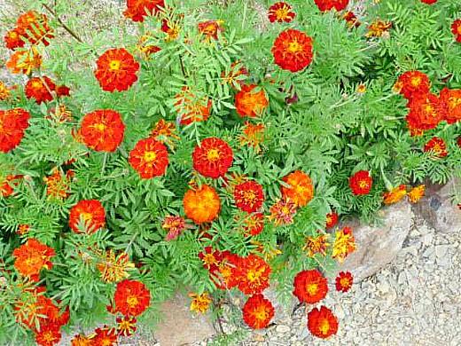 цветы для клумбы, цветущие всё лето - бархатцы