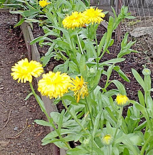 цветы для клумбы, цветущие всё лето - календула желтая