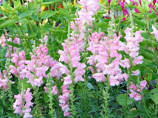 цветы для клумбы, цветущие всё лето - львиный зев