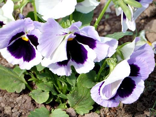 цветы для клумбы, цветущие всё лето - виола