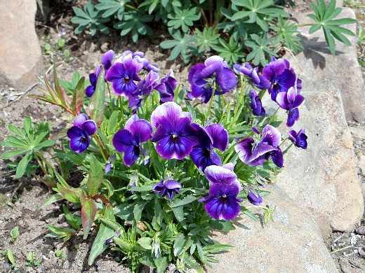 цветы для клумбы, цветущие всё лето - анютины глазки