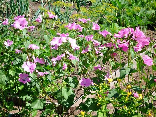 цветы для клумбы, цветущие всё лето - мальва (шток роза)