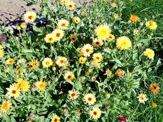 цветы для клумбы, цветущие всё лето - календула