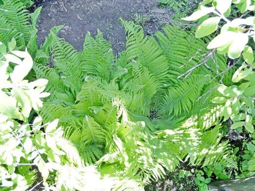 выращивание папоротников в саду 2