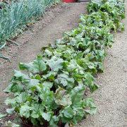 борьба с сорняками на даче и огороде - свекольная грядка по миттлайдеру 1
