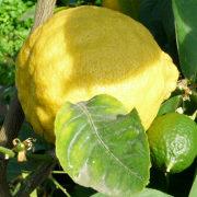 как вырастить лимон из косточек в домашних условиях 1