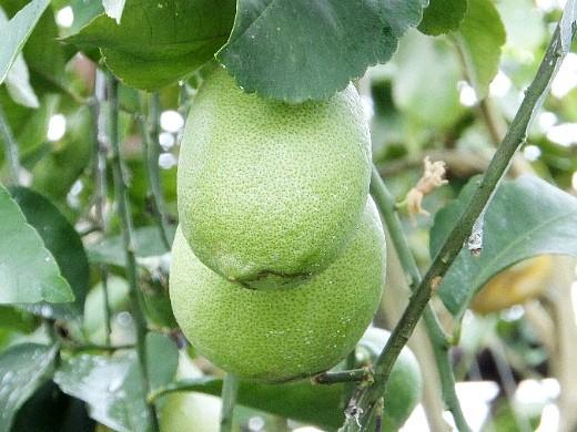 как вырастить лимон из косточек в домашних условиях 5