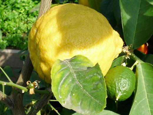 как вырастить лимон из косточек в домашних условиях