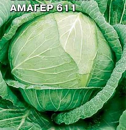 лучшие сорта капусты с названием, фото и описанием - амагер 611
