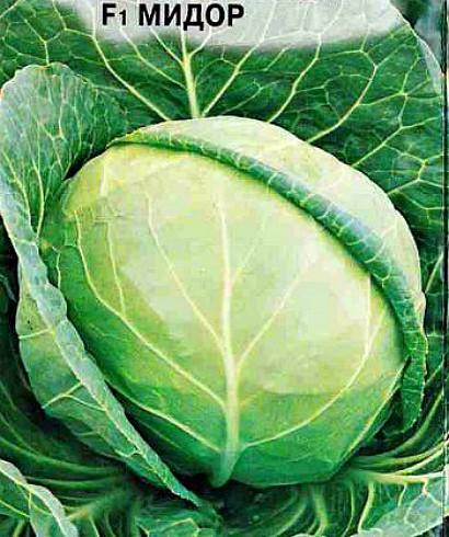 лучшие сорта капусты с названием, фото и описанием - f1 мидор