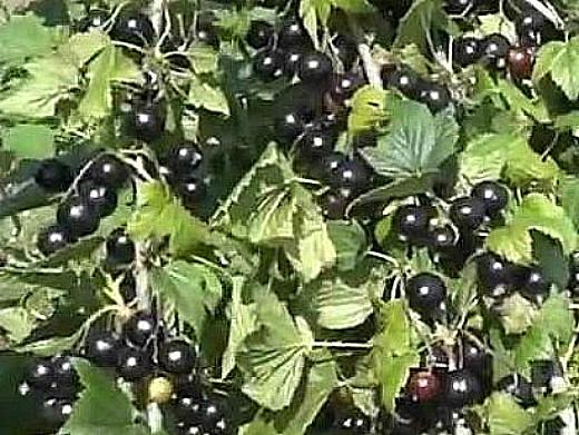 лучшие сорта смородины черной, красной и белой 9