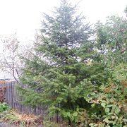 посадка хвойных деревьев и кустарников 1