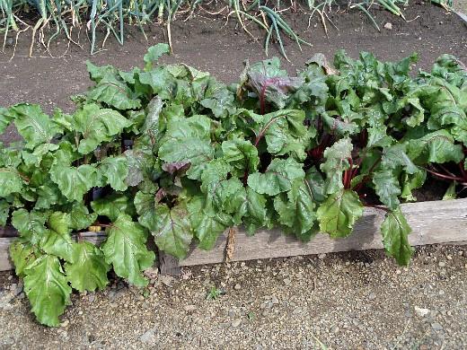 сорта свеклы лучшие, с описанием и фото - овощи на огороде