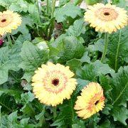 герберы, фото цветов в теплице 1