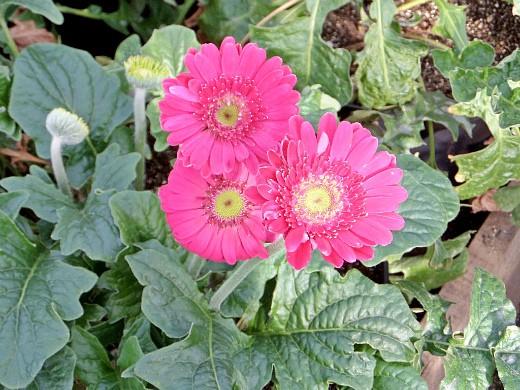 герберы, фото цветов в теплице 10