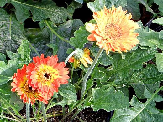 герберы, фото цветов в теплице 11