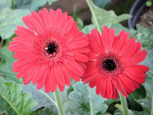 герберы, фото цветов в теплице 12