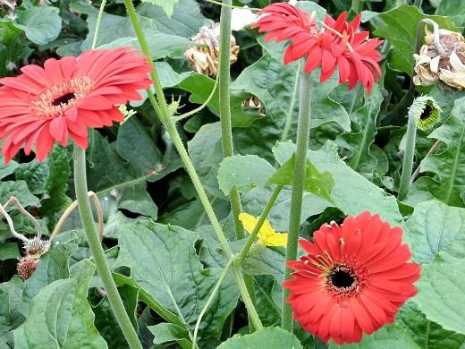 герберы, фото цветов в теплице 2