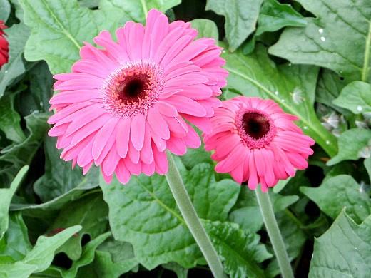 герберы, фото цветов в теплице 3