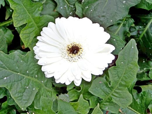 герберы, фото цветов в теплице 4