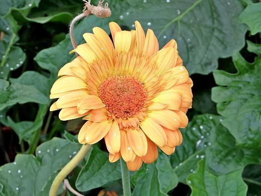 герберы, фото цветов в теплице 5