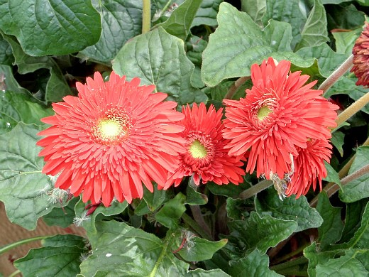герберы, фото цветов в теплице 6
