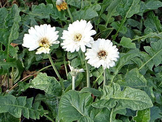 герберы, фото цветов в теплице 8