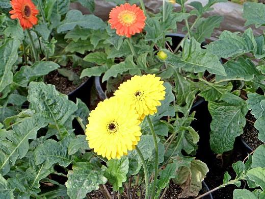 герберы, фото цветов в теплице 9