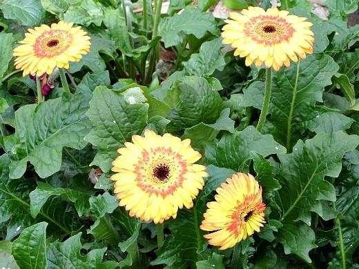 герберы, фото цветов в теплице