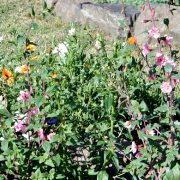 кларкия, выращивание из семян 1-2