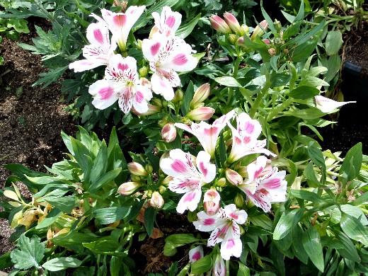 цветы альстромерия, выращивание на дачной клумбе
