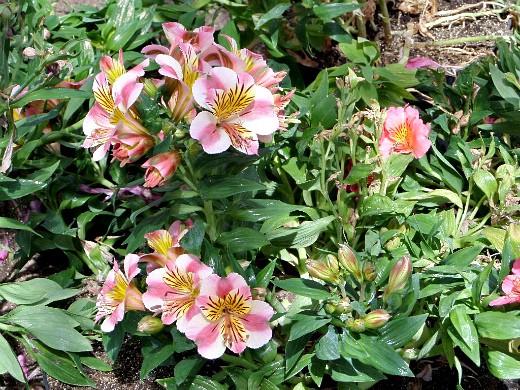 цветы альстромерия, выращивание на клумбе