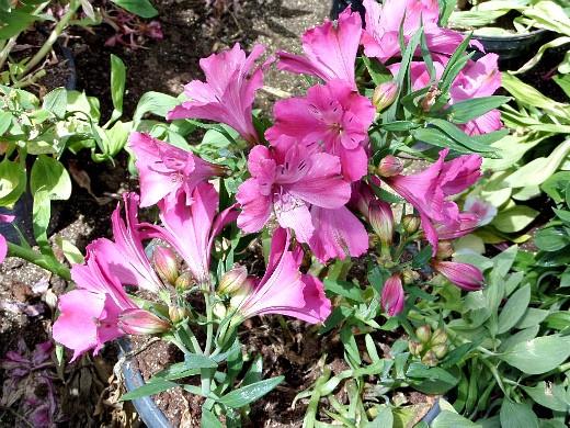 цветы альстромерия, выращивание на дачном участке