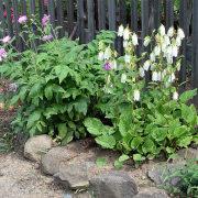 цветы васильки, выращивание 1