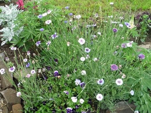 цветы васильки, выращивание на клумбе