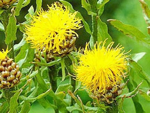 цветы васильки, выращивание - на дачной клумбе