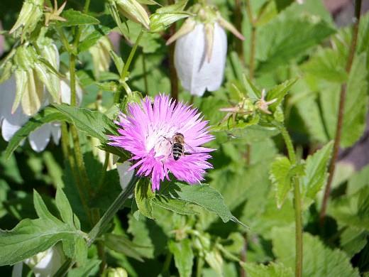 цветы васильки, выращивание и уход