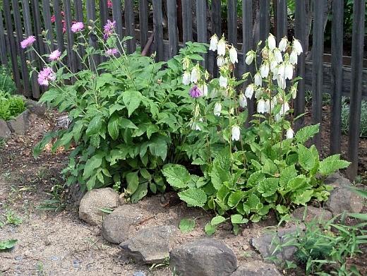 цветы васильки, выращивание в дачной рабатке