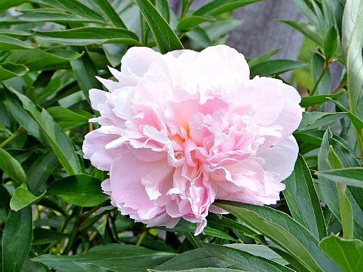 Цветение пиона после пересадки
