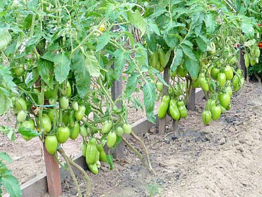 минеральные и органические удобрения для томатов - пока ещё зеленые помидоры