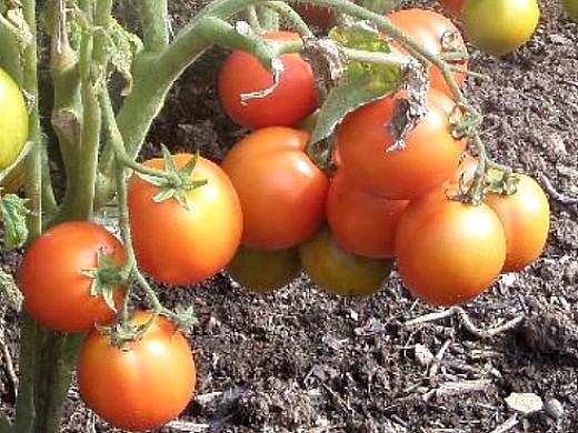 минеральные и органические удобрения для томатов - спелые помидоры