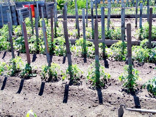 минеральные и органические удобрения для томатов - высаженная рассада