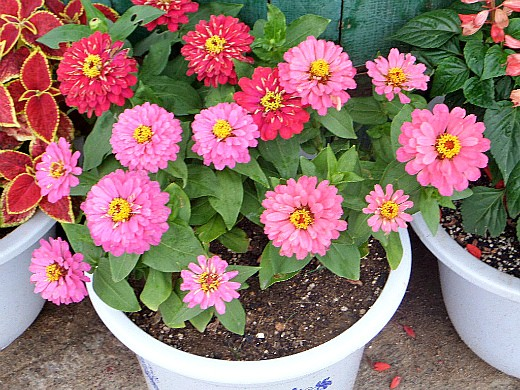 осенние цветы в саду, названия и фото - цинния