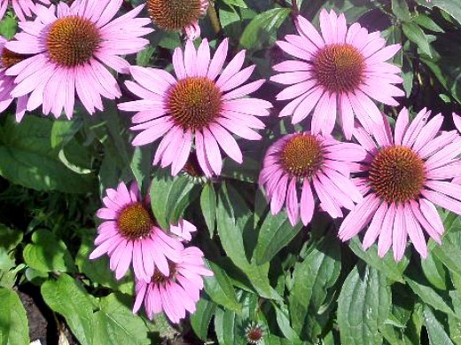 осенние цветы в саду, названия и фото - эхинацея