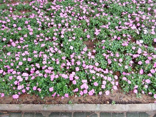 осенние цветы в саду, названия и фото - бальзамин низкорослый