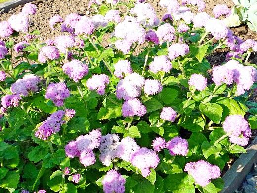 осенние цветы в саду, названия и фото - агератум
