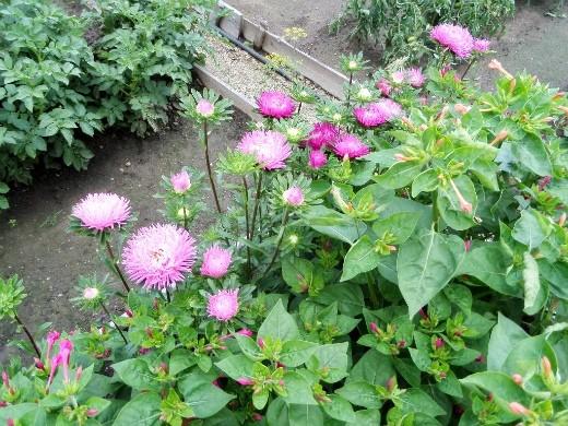 осенние цветы в саду, названия и фото - астра однолетняя на клумбе